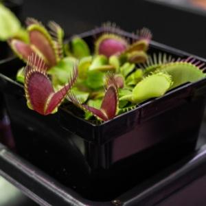 5 Graines de Dionaea Muscipula format géant
